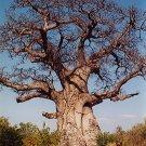 5 BAOBAB TREE Adansonia Digitata MONKEY BREAD TREE seeds African Icon