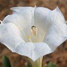15 DATURA INOXIA BELLE BLANCHE Seeds - Angel Trumpet