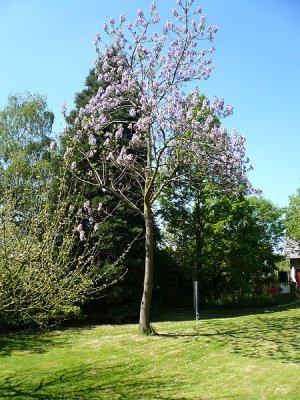 100 Paulownia Tomentosa EMPRESS TREE - Hardy Ornamental PRINCESS TREE SEEDS