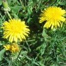 75 DANDELION medicinal flower seeds- Endive -HERB SEEDS