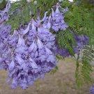 85 JACARANDA MIMOSIFOLIA SEEDS Black Poui Tree