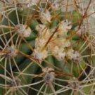 100 TRICHOCEREUS PASACANA cactus Seeds