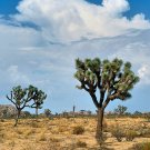 10 JOSHUA TREE Seeds- Yucca Brevifolia - Iconic Succulent Tree