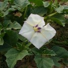 75 DATURA DISCOLOR - Desert Thornapple Seeds - Angel Trumpet Thorn-Apple