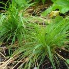 750 Harding Grass PHALARIS AQUATICA aka TUBEROSA Seeds