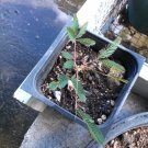 1 LIVE SENSITIVE PLANT - Mimosa Pudica Potted Plant - Leaves Move!!