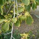 20 Hamamelis Virginiana- WITCH HAZEL SEEDS- wiccan herb
