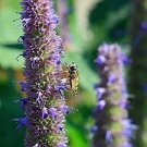100 Agastache Foeniculum ANISE (Giant) HYSSOP seeds Cultivated without chemicals