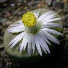 50 LITHOPS FULVICEPS - seeds LIVING STONES ~ mesemb