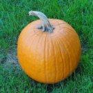 12 Heirloom Pumpkin Seeds -Make your own pie or Jack O'Lantern