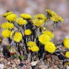 50 COLTSFOOT SEEDS - Tussilago Farfara Medicinal Herb, cough, asthma, breathing