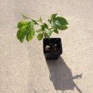 1 PASSION FRUIT Passiflora Edulis LIVE PLANT flower & edible fruit vine