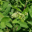 20 DOGBANE Apocynum Cannabinum INDIAN HEMP Seeds Rheumatism Weed - fiber plant