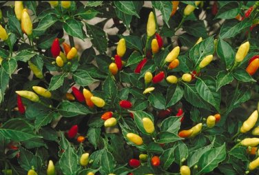 1/8 oz Non- GMO TABASCO PEPPER Seeds, Heirloom Chili Pepper Capsicum Frutescens