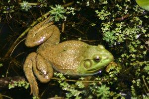 Froggie Froggie