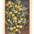 ORANGES, FRUIT AND BLOSSOMS, VINTAGE ANTIQUE POSTCARD   71