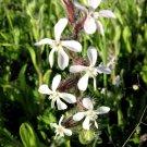 Silene (Silene gallica)
