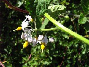 Solano negro (Solanum nigrum)