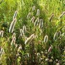 Trebol de hoja estrecha (Trifolium angostifolium)
