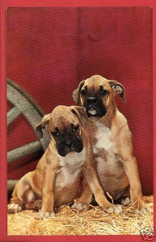 TWO BOXER  PUPPIES PUPPY DOG DOGS  POSTCARD