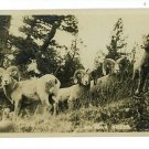 RPPC BIG HORN SHEEP CANADIAN PACIFIC RAILWAY POSTCARD