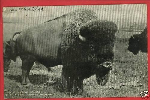 BUFFALO KING OF AMERICAN BEASTS 1906 MATTESON  POSTCARD