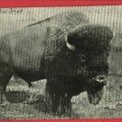 BUFFALO KING OF AMERICAN BEASTS 1906 MATTESON  POSTCARD