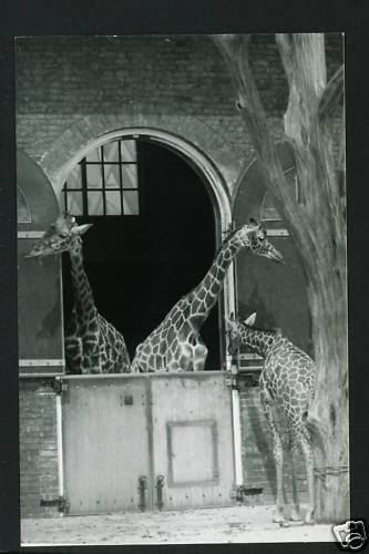 RPPC 3 GIRAFFES GIRAFFE A CUMMINGS PHOTO RP POSTCARD