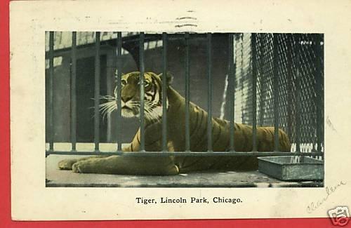 LINCOLN PARK ZOO CHICAGO ILLINOIS TIGER 1909 POSTCARD
