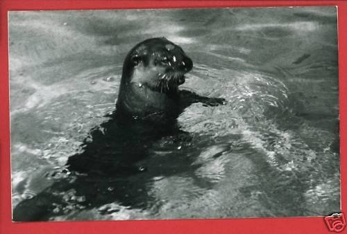 RPPC SEAL IN WATER A  CUMMINGS PHOTO RP POSTCARD