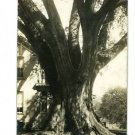 MARIETTA OHIO RPPC RATHBONE ELM LARGEST ELM IN U.S.
