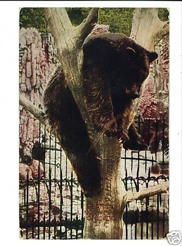 LINCOLN PARK ZOO  CHICAGO ILLINOIS  BEAR IN TREE 1909
