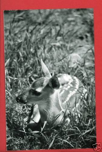 RPPC SPOTTED BABY FAWN DEER CUMMINGS PHOTO RP POSTCARD