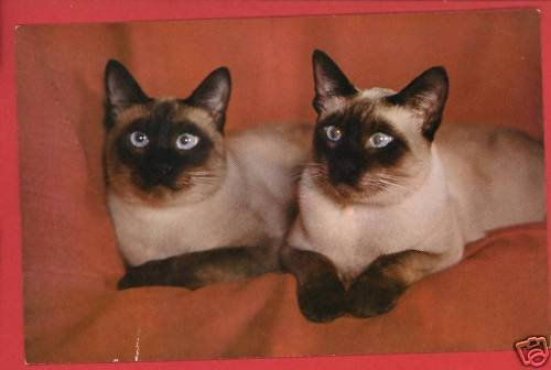 TWO SIAMESE CATS CAT  POSTCARD