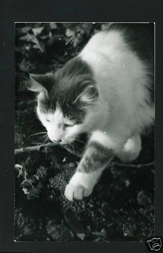 RPPC  CAT WALKING  A CUMMINGS PHOTO RP POSTCARD