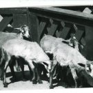 RPPC GOATS IN A PEN  A CUMMINGS PHOTO RP POSTCARD