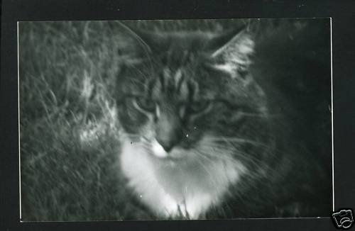 RPPC TIGER CAT SHADOWS B  A CUMMINGS PHOTO RP POSTCARD