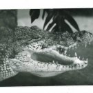 RPPC CROCODILE HEAD  A CUMMINGS PHOTO RP POSTCARD