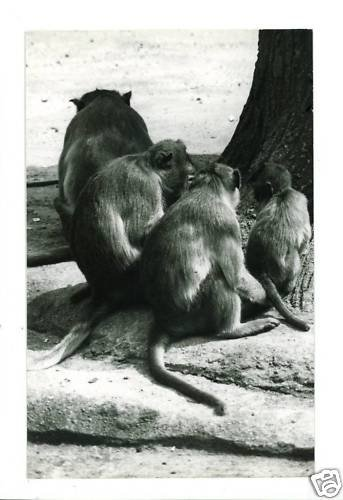 RPPC 4 MONKEYS MONKEY  A CUMMINGS PHOTO RP POSTCARD