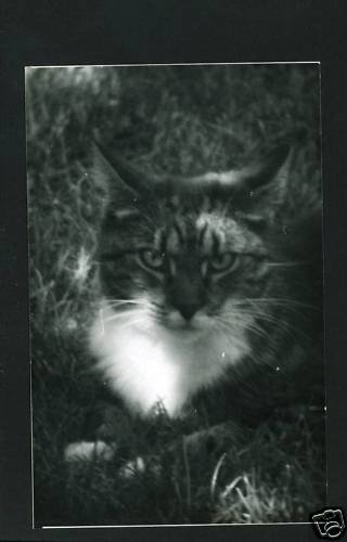 RPPC TIGER CAT IN SHADOWS  A CUMMINGS PHOTO RP POSTCARD