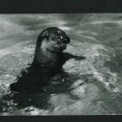 RPPC A SEAL IN WATER  A CUMMINGS PHOTO RP POSTCARD