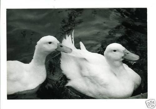 RPPC TWO DUCKS WATER  A CUMMINGS PHOTO RP POSTCARD