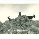 RPPC NV NEVADA HILL BILLIES BILLY GOATS BELL RPPC