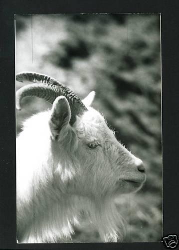 RPPC BIG HORN SHEEP  A CUMMINGS PHOTO RP POSTCARD
