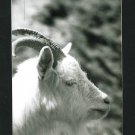 RPPC BIG HORN SHEEP  A CUMMINGS PHOTO RP POSTCARD