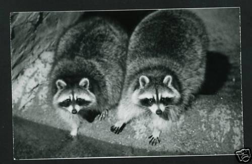 RPPC TWO RACCOONS RACOON  CUMMINGS PHOTO RP POSTCARD