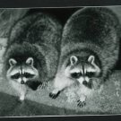 RPPC TWO RACCOONS RACOON  CUMMINGS PHOTO RP POSTCARD