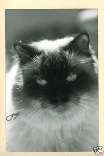 RPPC HIMALAYAN CAT A CUMMINGS PHOTO RP POSTCARD
