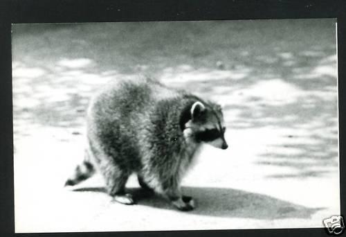 RPPC RACOON WALKING  A CUMMINGS PHOTO RP POSTCARD