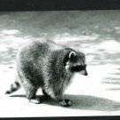 RPPC RACOON WALKING  A CUMMINGS PHOTO RP POSTCARD